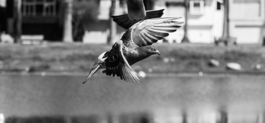 Pigeon Wars